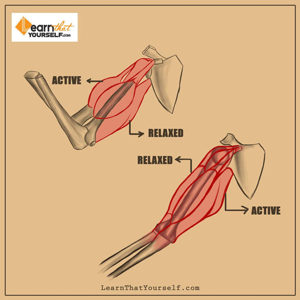 Introduction to Muscle Anatomy 4 Learn That Yourself LTY Lalit Adhikari